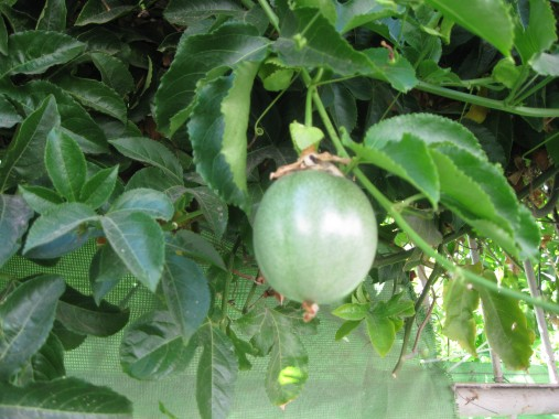 soon-to-be-ripe passionfruit