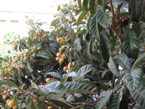 Loquat (shesek) tree hangs over our balcony